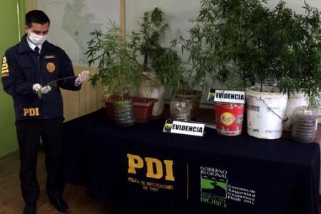 PDI saca de circulación cerca de 11 mil dosis de cannabis sativa en San Rosendo